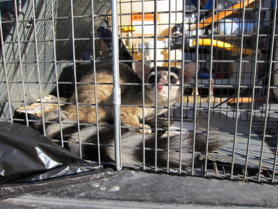 Ringtail captured 2