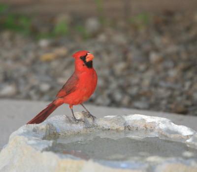 Cardinal ♂