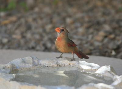 Cardinal ♀