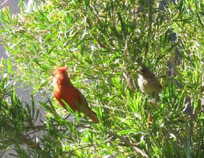 Cardinal 雄親と雛