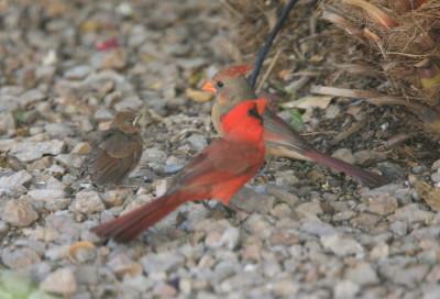Cardinal 雄雌親と雛