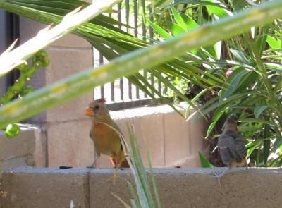 Cardinal 雌親と雛