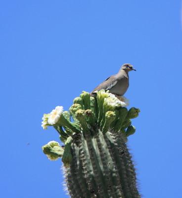 Saguaro & White-winged Dove