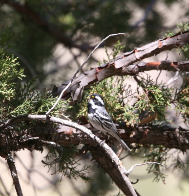 Black-throated Gray Warbler 2