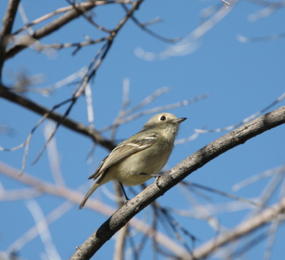 Huttons Vireo 1