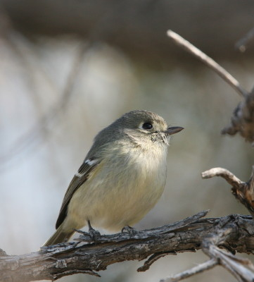 Huttons Vireo 2