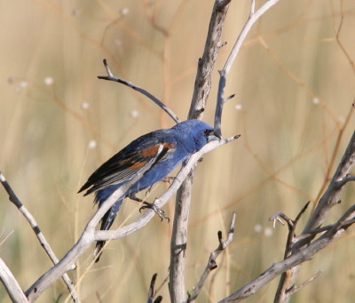 Blue Grosbeak 1