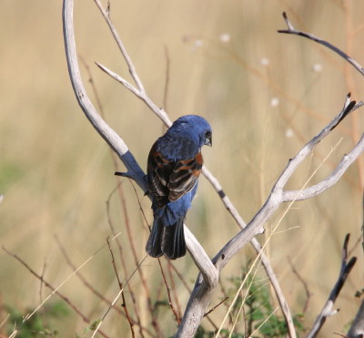 Blue Grosbeak 2
