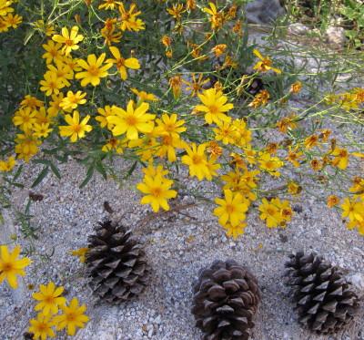 Mountain marigold