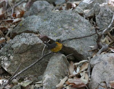 Fan-tailed Warbler 1