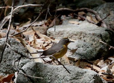 Fan-tailed Warbler 2