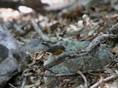 Fan-tailed Warbler 3