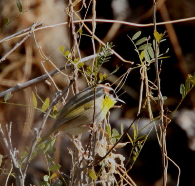 Rufous-capped Warbler 1