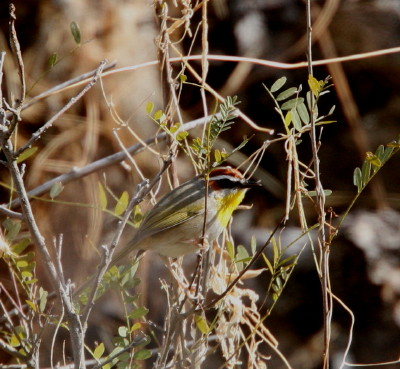 Rufous-capped Warbler 2