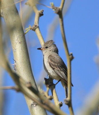 Northern-beardless Tyrannulet 2