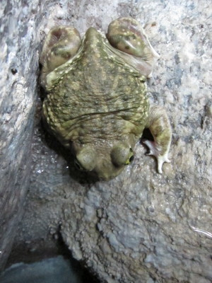 Western Spadefoot toad
