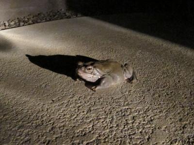Sonoran Desert Toad 1