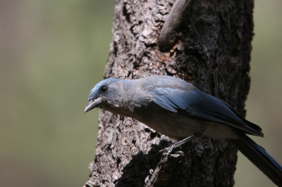 Mexican Jay 1