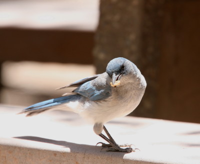 Mexican Jay 2