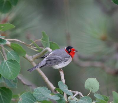 Red-faced Warbler 1