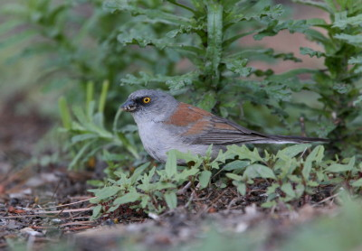 Yellow eyed Junco 1