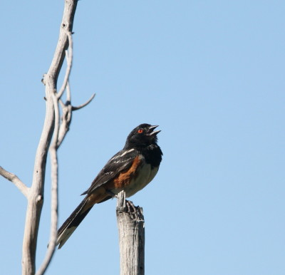 Spotted Towhee 2
