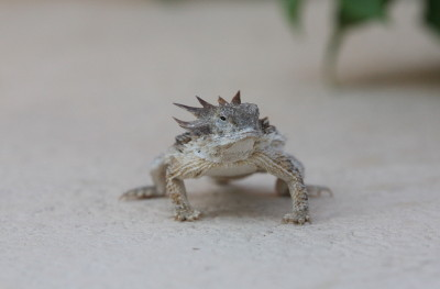 Regal Horned Lizard 1