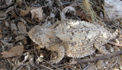 Regal Horned Lizard 2