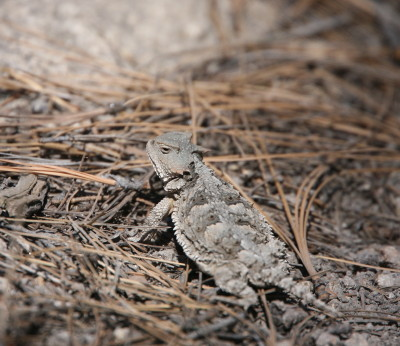 Greater Short-horned Lizard 2