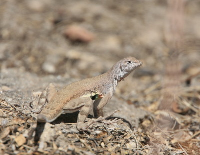 Zebra-tailed Lizard 1