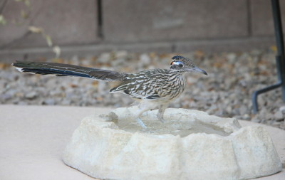 Greater Roadrunner 3