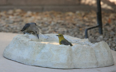 Gila Woodpecker & Hooded Oriole