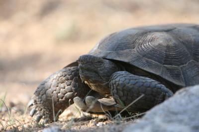 Desert Tortoise 2