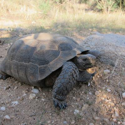Desert Tortoise 3