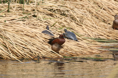 Red eared Slider & Cinnamon Teal