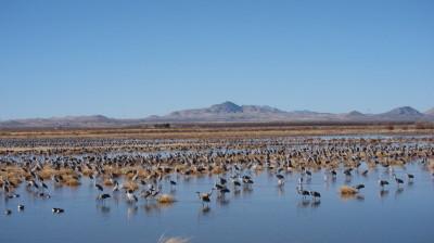 Sandhill Crane(AZ) 1
