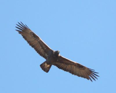 イヌワシの飛翔 1