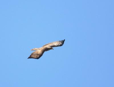 イヌワシの翼の上面