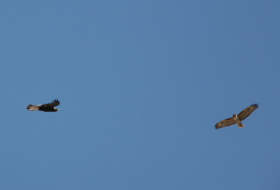 Golden Eagle & Red-tailed Hawk 1