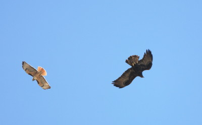 Golden Eagle & Red-tailed Hawk 2