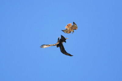 Golden Eagle & Red-tailed Hawk 3