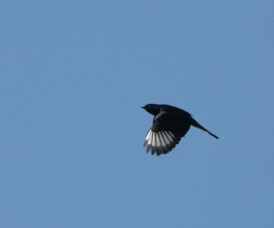 Phainopepla 2 flying