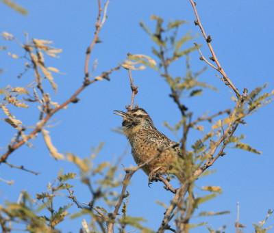 Cactus Wren 2 Singing