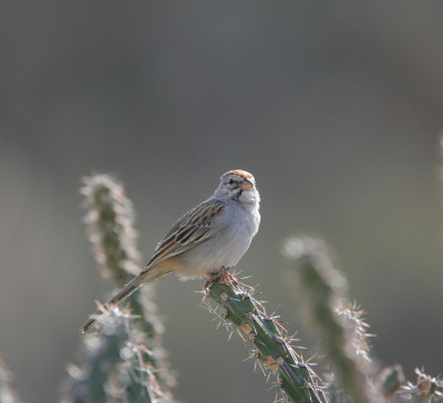 Rusous-winged Sparrow