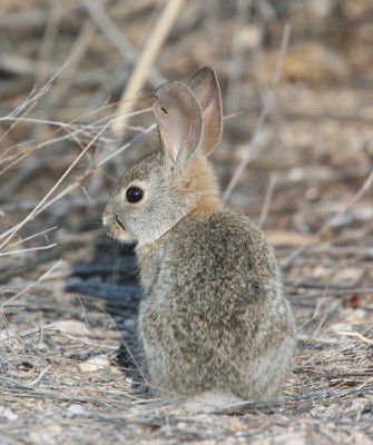Desert Cotton Tail