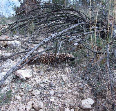 枯れ木の下のドクトカゲ