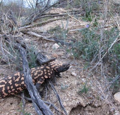 倒木の下を歩くドクトカゲ