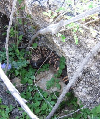 岩の隙間のアメリカドクトカゲ