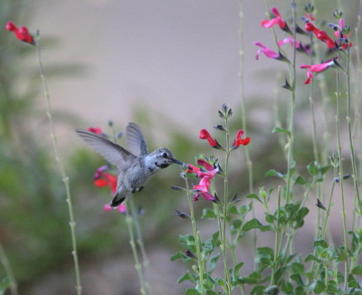 Flower & Costas Hummingbird