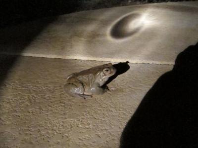 Snoran Desert Toad